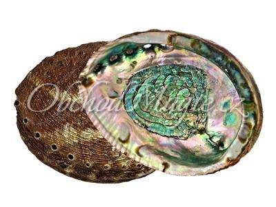 Mušle k vykuřování-Abalone mušle k vykuřování extra kvalita, střední